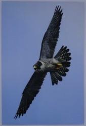 Turkish Falconry Equipment - Falco Peregrine Mural