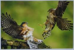 Turkish Falconry Equipment - Sparrow Hawk Mural
